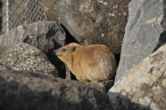 a hyrax, Israel's 'rock rabbit' - cute pests